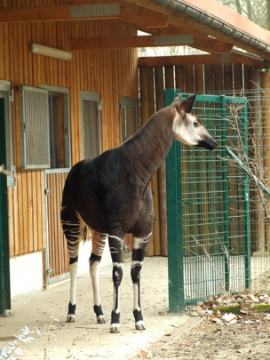 Picture of okapi Antonia at Frankfurt by Marlies Thieme