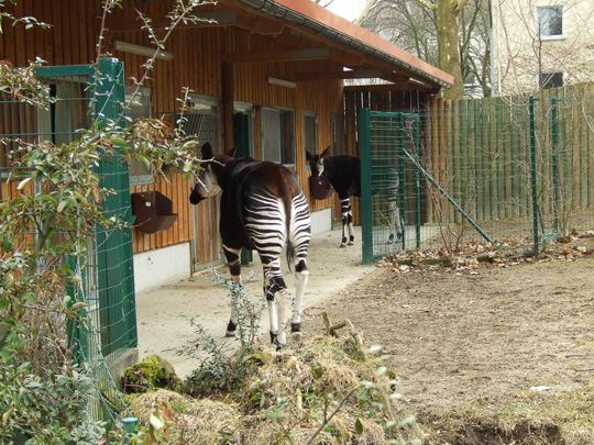 Picture of okapi Antonia and Deto at Frankfurt by Marlies Thieme