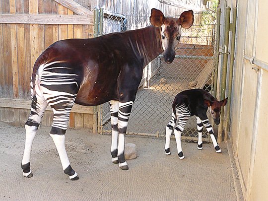 Picture of okapi Ayana and calf, by Marcia