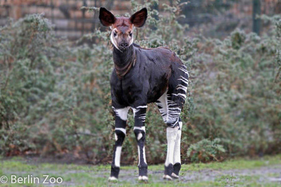 Picture of okapi Bashira at Berlin Zoo