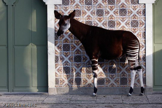 Picture of okapi Bondo, by Sabine Ory