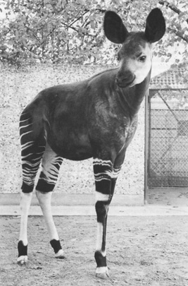 Picture of okapi Boye during his stay at Hannover. Thanks to Carsten Zehrer.