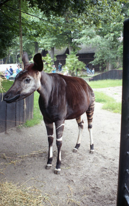 Picture of okapi Danae
