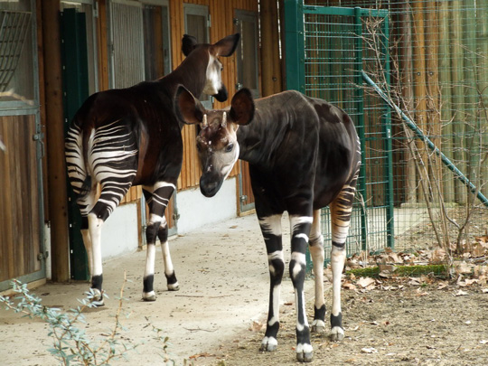 Picture of okapi Deto and Antonia at Frankfurt by Marlies Thieme