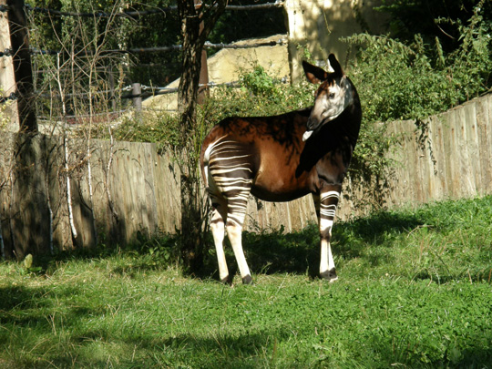 Picture of okapi Etana at Dvur Kralové