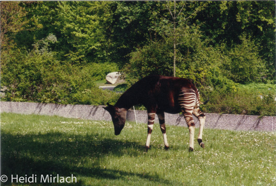 Male Okapi Habari at Munich Zoo Hellabrunn, 1994