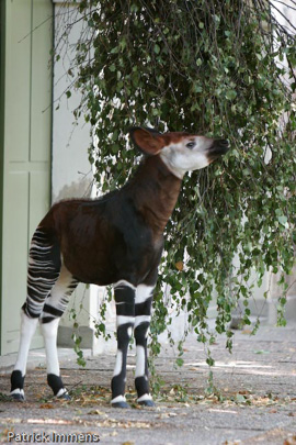 Picture of okapi Hakima, by Sabine Ory