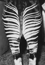 Pasport picture of okapi Ituri
