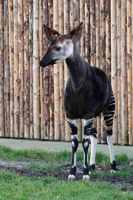 Picture of okapi Jabari, by Sabine Ory