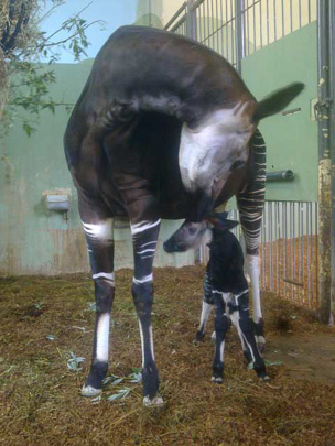Picture of okapi Kamina and her calf, by Dennis Blomjous