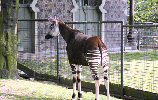 Picture of okapi Karel