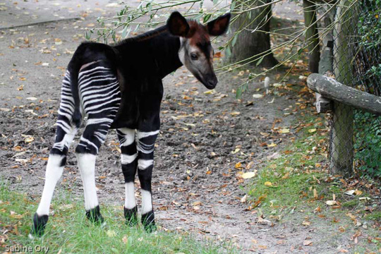 Picture of okapi Kheri, by Sabine Ory