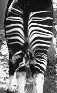 Pasport picture of okapi Kiyowe