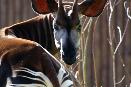 Picture of okapi Libembe, by Sabine Ory