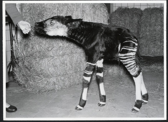 Picture of okapi Lipumbe