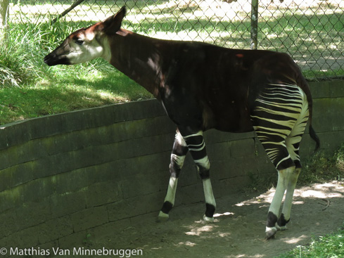 Picture of okapi Luani at Copenhagen