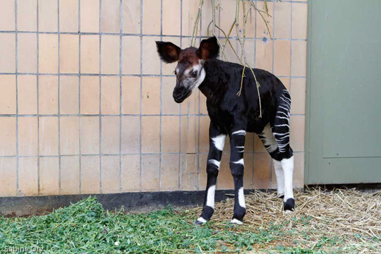 Picture of okapi Mchawi, by Sabine Ory