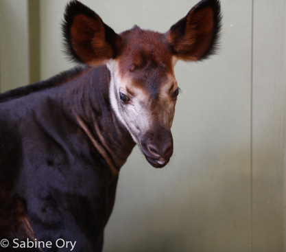Picture of okapi calf Ngwani