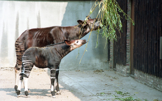 Picture of okapi Ricky and his mother Danae