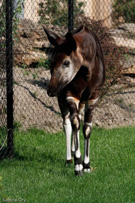 Picture of okapi Sofie