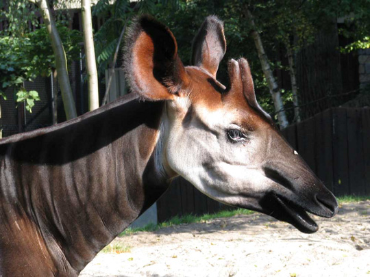 picture of okapi Xamuni