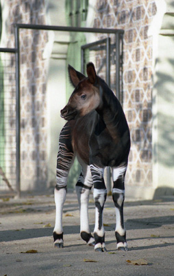 Picture of okapi Xantia