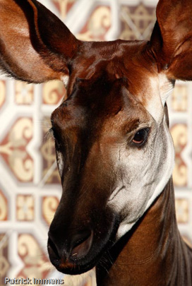 Picture of okapi Yenthe, by Sabine Ory