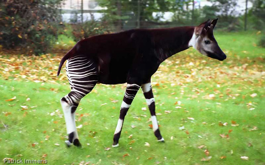 Picture of okapi Tiemen