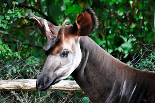 Picture off okapi Kamba
