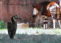 Ground hornbill shares exhibit with okapi at St Louis